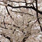 目黒川の桜 2018 #04:もう満開