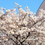 目黒川の桜 2018 #05:最高の日