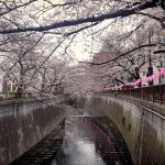 目黒川の桜 2019 #05:五分咲き