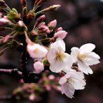 目黒川の桜 2019 #03:寒の戻り