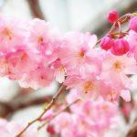 目黒川の桜 2019 #06:曇りのち雨
