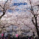 目黒川の桜 2019 #07:朝の桜