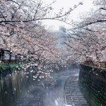 目黒川の桜 2020 #10:桜と雪と川霧