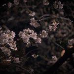 目黒川の桜 2020 #02:いつもと違う夜桜
