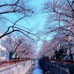 目黒川の桜 2020 #03:4分咲き