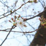 目黒川の桜 2020 #01:開花