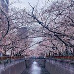 目黒川の桜 2020 #04:5分咲き