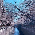 目黒川の桜 2020 #05:6分咲き?