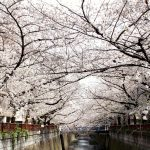 目黒川の桜 2020 #09:満開