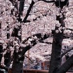 目黒川の桜 2020 #08:満開前