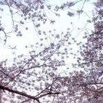 目黒川の桜 2020 #13:桜と飛行機