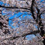 目黒川の桜 2020 #11:散りはじめ