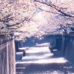 目黒川の桜 2020 #12:朝陽の中で