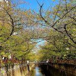 目黒川の桜 2020 #14:桜とバトンタッチ