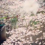 目黒川の桜 2021 #08:カルガモ