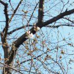 目黒川の桜 2021 #01:開花宣言