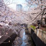 目黒川の桜 2021 #03:満開間近
