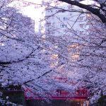 目黒川の桜 2021 #06:夕暮れ