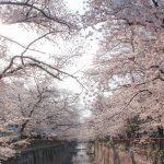 目黒川の桜 2021 #07:朝の桜