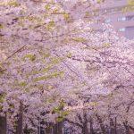 目黒川の桜 2021 #09:あと少し