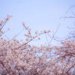 目黒川の桜 2021 #10:上空