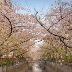 目黒川の桜 2021 #11:葉桜へ